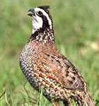 Quail Habitat Restoration Project
